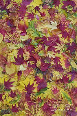 Autumnal Acer Leaves Print by Tim Gainey