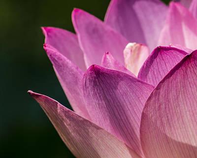 Awakening Lotus Print by Jon Woodhams