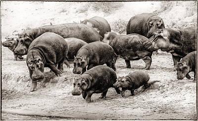 Aware Hippos Print by Mike Gaudaur