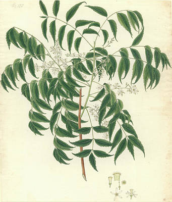 Azadirachta Indica Print by Natural History Museum, London