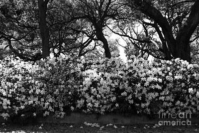 Charleston Photograph - Azaleas At The Battery by Manda Renee