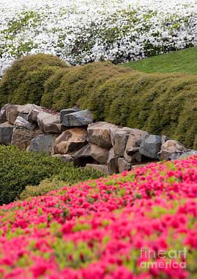 Greensboro Photograph - Azaleas by Dan Carmichael
