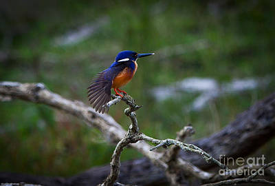 Azure Kingfisher Print by Alexander Whadcoat