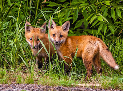 Fox Photograph - Babes In The Woods 2 by Steve Harrington