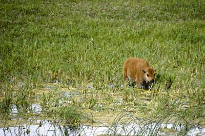 Buffalo Photograph - Baby Buffalo by Crystal Wightman