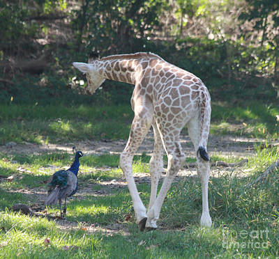 Baby Giraffe And Peacock Out For A Walk Print by John Telfer