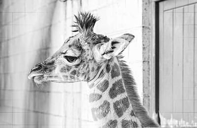 Baby Giraffe Print by Carol Malky