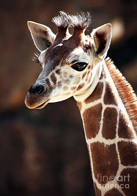 Baby Giraffe Print by John Rizzuto