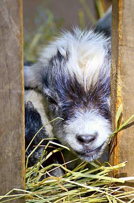 Baby Goat Original by Toppart Sweden