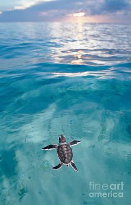 Baby Turtle Photograph - Baby Green Sea Turtle by Novastock