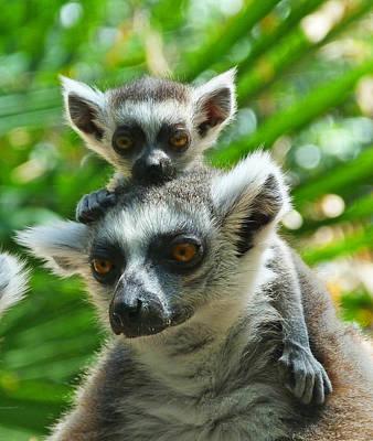 Baby Lemur Views The World Print by Margaret Saheed