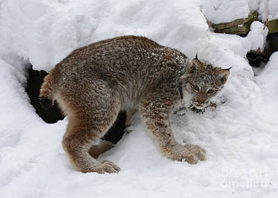 Baby Lynx Staying Close To Its Winter Den Print by Inspired Nature Photography Fine Art Photography