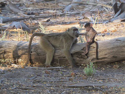 Baby Monkey With Its Mother, Okavango Print by Panoramic Images