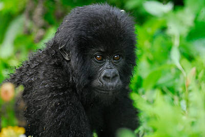 Baby Mountain Gorilla Print by Stefan Carpenter