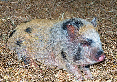 Pig Photograph - Baby Pot Bellied Pig by Millard H. Sharp