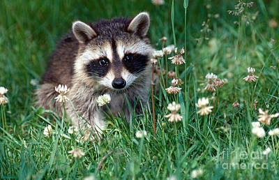 Raccoon Photograph - Baby Raccoon by Jeanne White