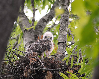 Red Photograph - Baby Red Shouldered Hawk by Jai Johnson