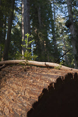 And Giant Redwood. It Is An Evergreen Photograph - Baby Redwood by Joel Moranton