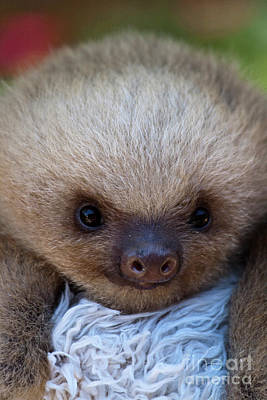 Biologic Photograph - Baby Sloth by Heiko Koehrer-Wagner