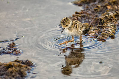 Wild Photograph - Baby Stilt Taking Big Leaps by Andres Leon