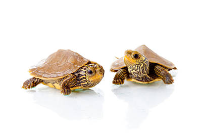 Small Turtle Photograph - Baby Turtles by Alexey Stiop