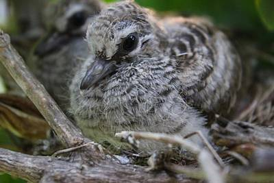 Zebra Photograph - Baby Zebra Doves 2 by Kimberly Reeves