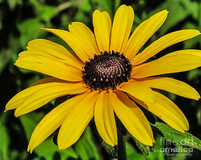 Nature Photograph - Back Eyed Susan by Jenelle Trader