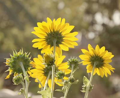 Kim Photograph - Backlight - Sunflowers by Kim Hojnacki