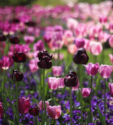 Backlit Tulips Print by Jessica Jenney