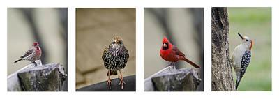 Starlings Photograph - Backyard Bird Set by Heather Applegate