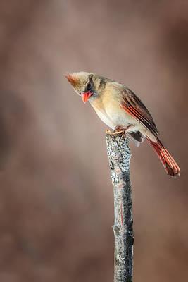 Cardinals. Wildlife. Nature Photograph - Backyard Birds Northern Cardinal by Bill Wakeley