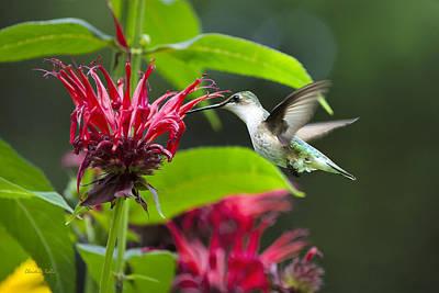 Backyard Hummingbird In Flight Print by Christina Rollo