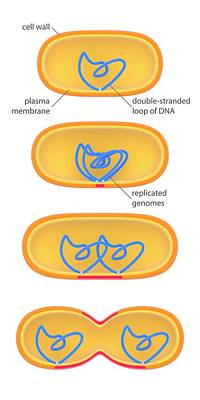 Bacterial Cell Division Print by Science Photo Library