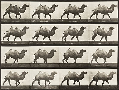 Movie Photograph - Bactrian Camel Walking by Celestial Images