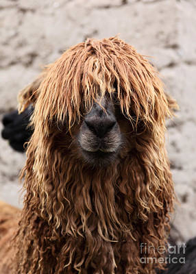 Llama Photograph - Bad Hair Day by James Brunker