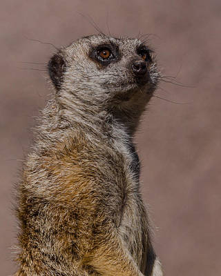 Meerkat Photograph - Bad Whisker Day by Ernie Echols