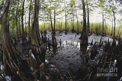 Cypress Swamp Photograph - Bald Cypress Knees by Gregory G. Dimijian, M.D.