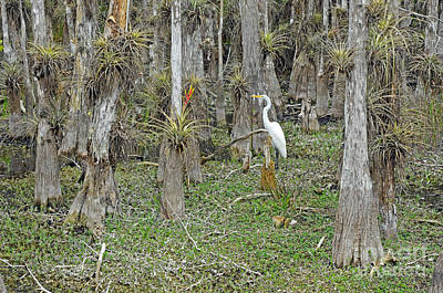 Bald Cypress Swamp With Great Egret Print by John Serrao