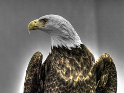 Flying Photograph - Bald Eagle 3 by John Straton