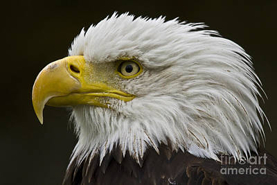 Ailing Photograph - Bald Eagle - 7 by Heiko Koehrer-Wagner