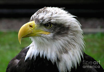 England Photograph - Bald Eagle by Celestial Images