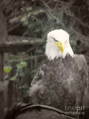 Bald Eagle Print by Dawn Gari
