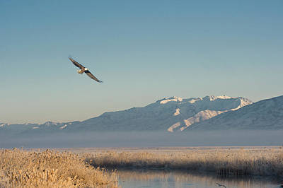 Bald Eagle Flying Over Farmington Bay Print by Howie Garber