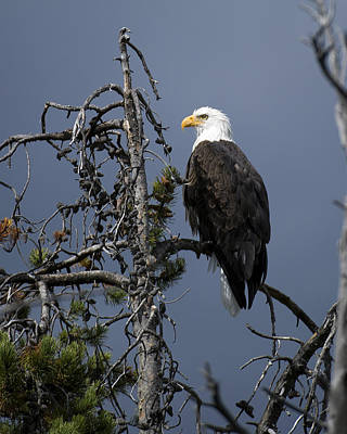 Birds Photograph - Bald Eagle On Watch by Gary Langley