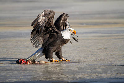 Magpies Digital Art - Bald Eagle Protecting His Food  by Eti Reid