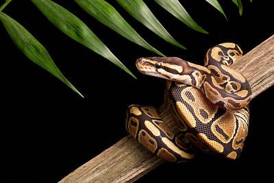Python Photograph - Ball Python Python Regius On Branch by David Kenny