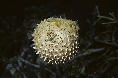 Porcupine Fish Photograph - Balloonfish by Andrew J. Martinez