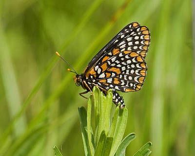 Checkerspot Photograph - Baltimore Checkerspot Butterfly by Eric Mace