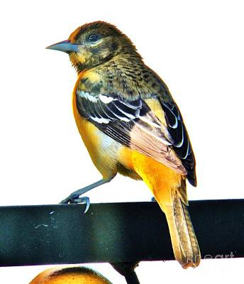Baltimore Oriole Female Original by Judy Via-Wolff