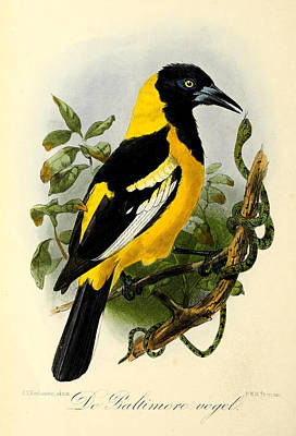 Oriole Painting - Baltimore Oriole by J G Keulemans